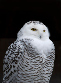 The Snowy Owl (Bubo scandiacus) by Sebastian Luedke