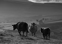 Crai Cows by Nigel Forster