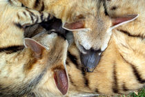 Three Sleeping Aardwolves von serenityphotography
