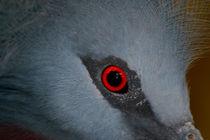 Victoria Crowned Pigeon Eye von serenityphotography