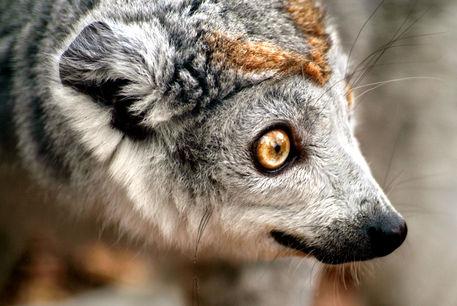 Crowned-lemur