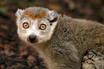 Female Crowned Lemur von serenityphotography