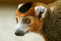 Male Crowned Lemur von serenityphotography