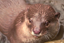 Smooth-coated-otter-04