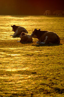 Sitting Cows by serenityphotography