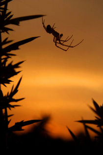 Sunset Spider von serenityphotography