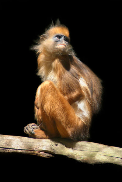 Banded-leaf-monkey-howletts-05