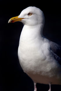 Standing Seagull by serenityphotography