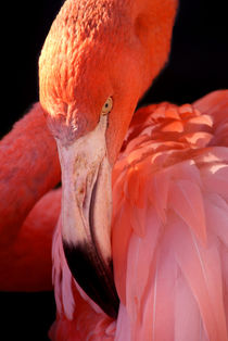 Cuban Flamingo by serenityphotography