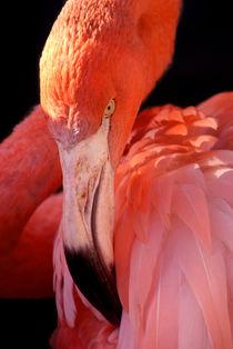 Cuban-flamingo-29