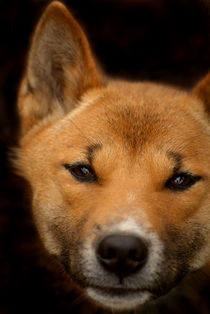 New Guinea Singing Dog von serenityphotography
