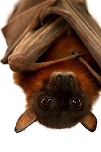 Little Red Flying Fox Hanging Out by serenityphotography
