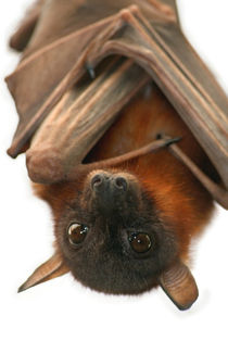 Little Red Flying Fox von serenityphotography