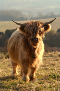 Young Highland Cow von serenityphotography