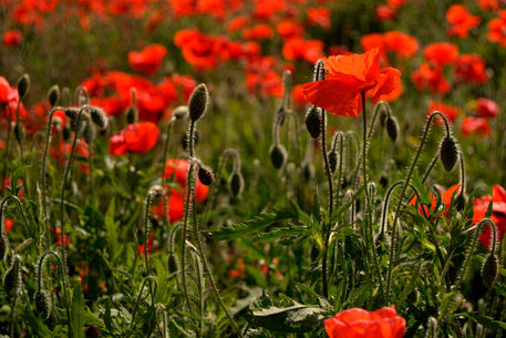 Backlit-poppies