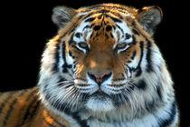 Sumatran-tiger-panthera-tigris-sumatrae-02