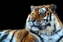 Sumatran-tiger-panthera-tigris-sumatrae-03