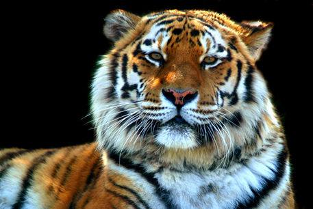Sumatran-tiger-panthera-tigris-sumatrae-01