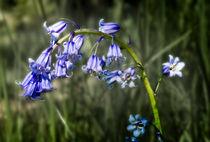 Bluebell by Graham Prentice
