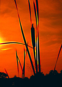 Bullrushes At Sunset by Graham Prentice