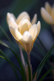 The crocus by Odon Czintos