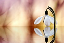 The snowdrop reflection by Odon Czintos