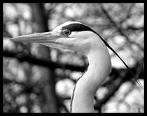 Great Blue Heron in Black & White von Mark Cowie