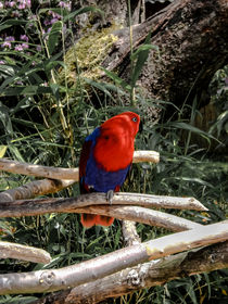 Red-Blau Parrot by markowmedia
