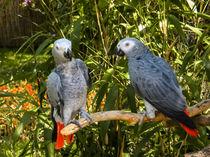 Paar Papagei von markowmedia