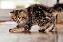 Playing kitten by gnubier
