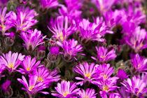Purple. von Raffaella Lunelli