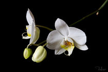 White orchid by Raffaella Lunelli