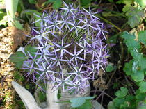 Allium von Eugen Bill