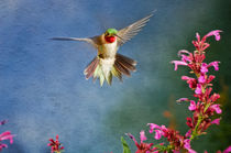 Broad-tailed-hummingbird-selasp-bihu-0056-edit