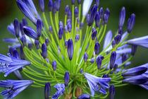 Blue Agapanthus by Sara Messenger