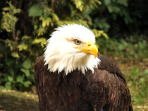 An American bald eagle.  by Sara Messenger