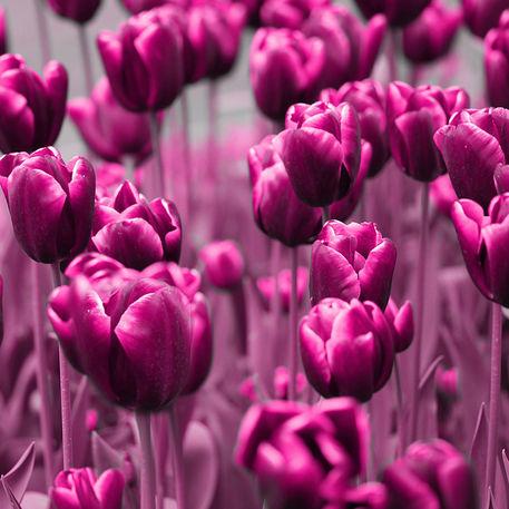 Tulpen2