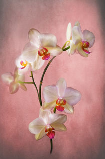 Spray of pale pink phalaenopsis orchids on a pink textured background by Jacqi Elmslie