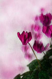 Pink Cyclamen by Jacqi Elmslie