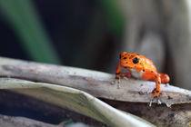 Red Frog von Roland Spiegler