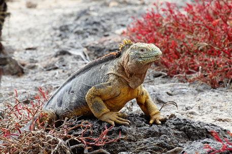06-kreuzfahrt-tag-3-23-land-iguana