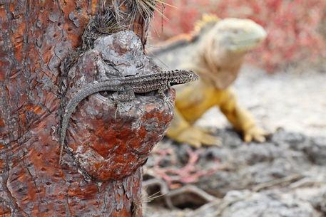 06-kreuzfahrt-tag-3-25-lava-lizard-and-iguana
