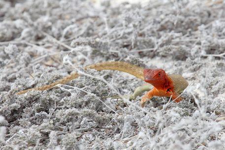 10-kreuzfahrt-tag-5-19-female-lava-lizard