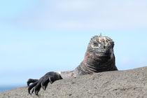 11-kreuzfahrt-tag-5-04a-marine-iguana