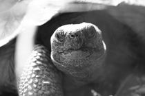 Giant tortoise von Roland Spiegler