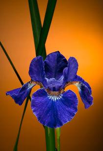 Iris sibirica, blau by Erwin Kerkenberg