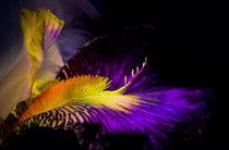 Iris barbarta by Erwin Kerkenberg
