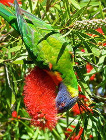 Rainbow Lorikeet And Crimson Bottlebrush von Margaret Saheed