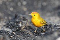 14-kreuzfahrt-tag-7-05-yellow-warbler