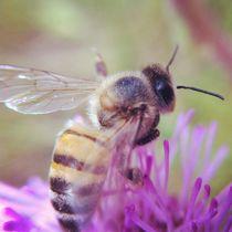 Bee on purple flower von Jinnie Davel